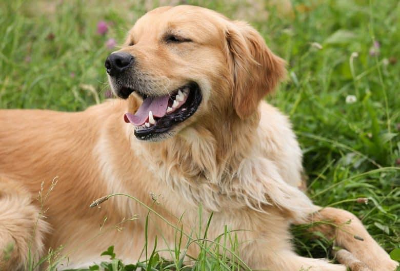 Happy Golden Retriever dog lying on the grass