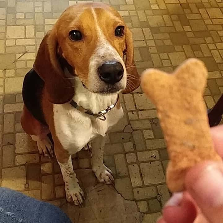 Harrier Dog patiently waiting for its treat
