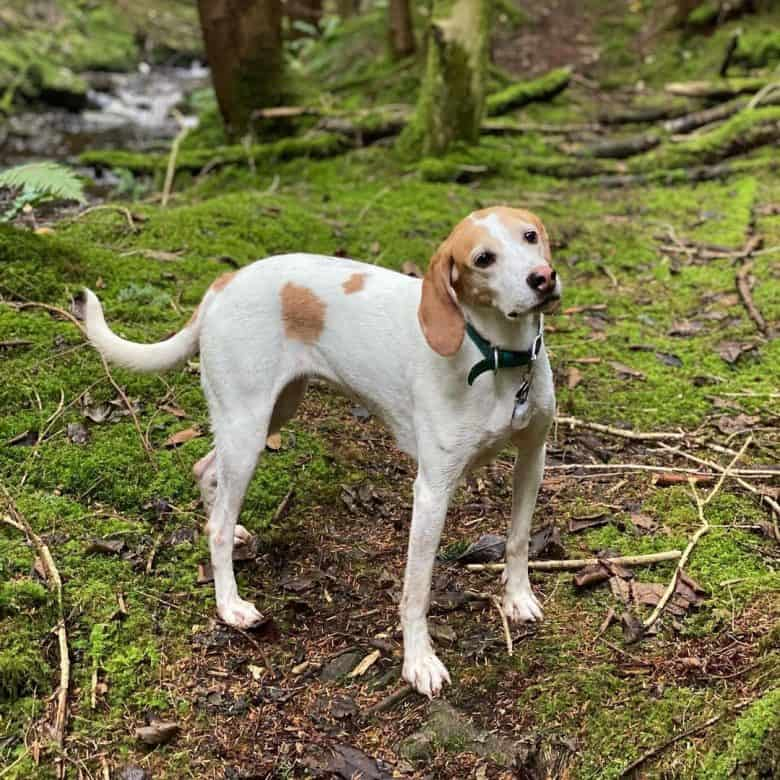 Harrier dog walking in the forest