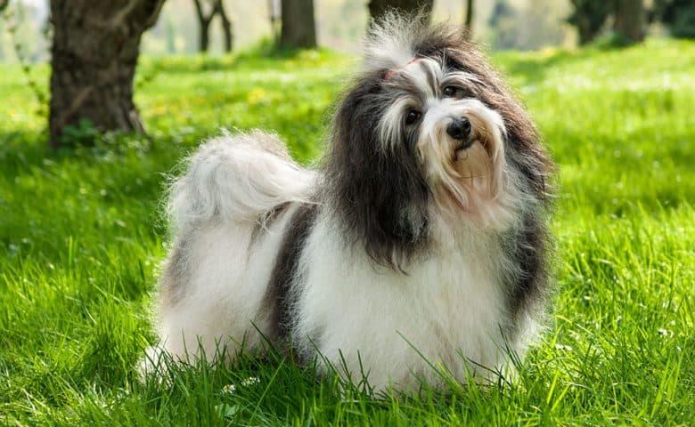 Havanese dog in a sunny grassy field