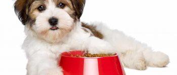 Havanese dog lying beside his food
