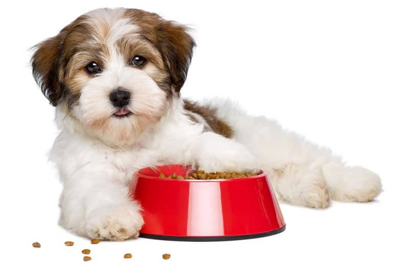Havanese dog lying beside his food