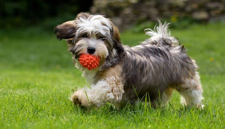 Havanese dog playing his ball toy outside