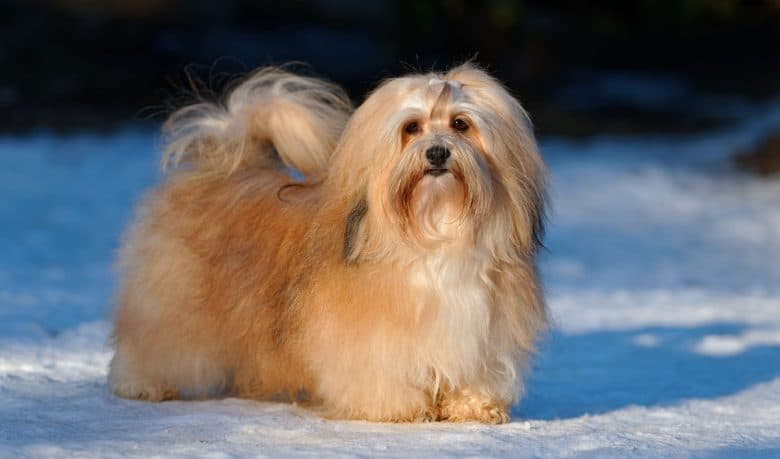 Havanese dog standing in a snow field