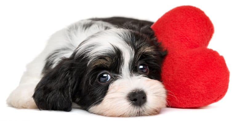 Sad Havanese dog lying with red heart pillow