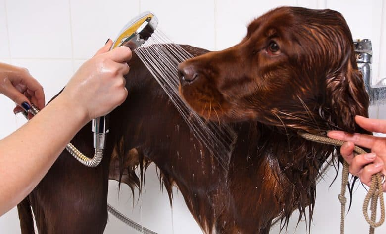 Irish Setter dog in a grooming salon
