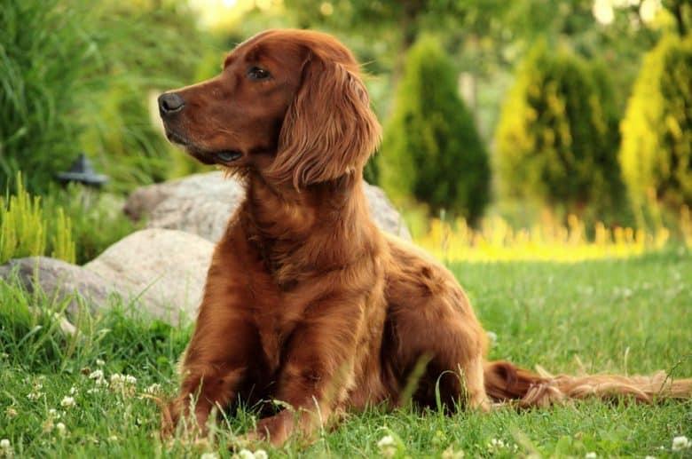 Irish Setter dog lying on a field