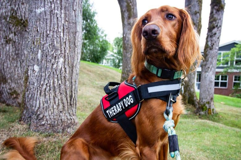 Irish Setter working as a therapy dog