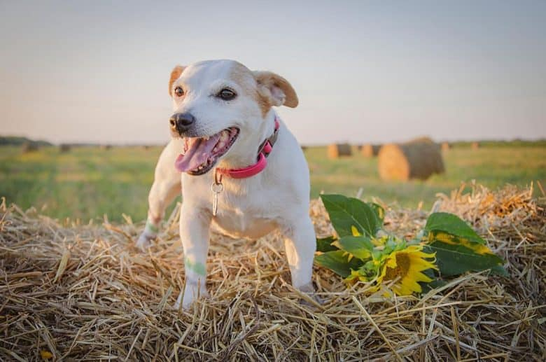 Jack Russell in the top of the haystack