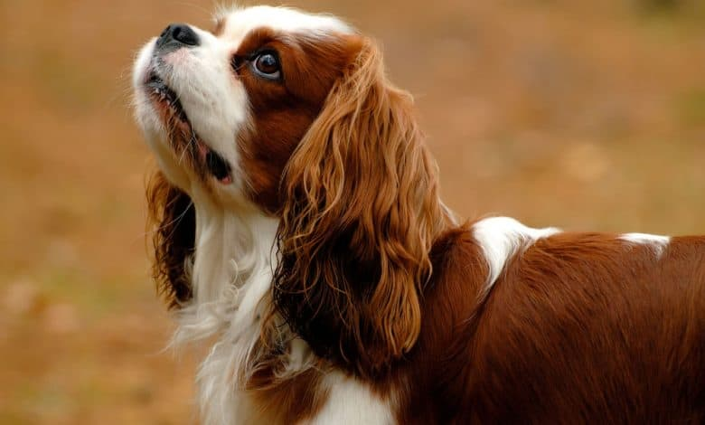 King Charles Spaniel dog in autumn background