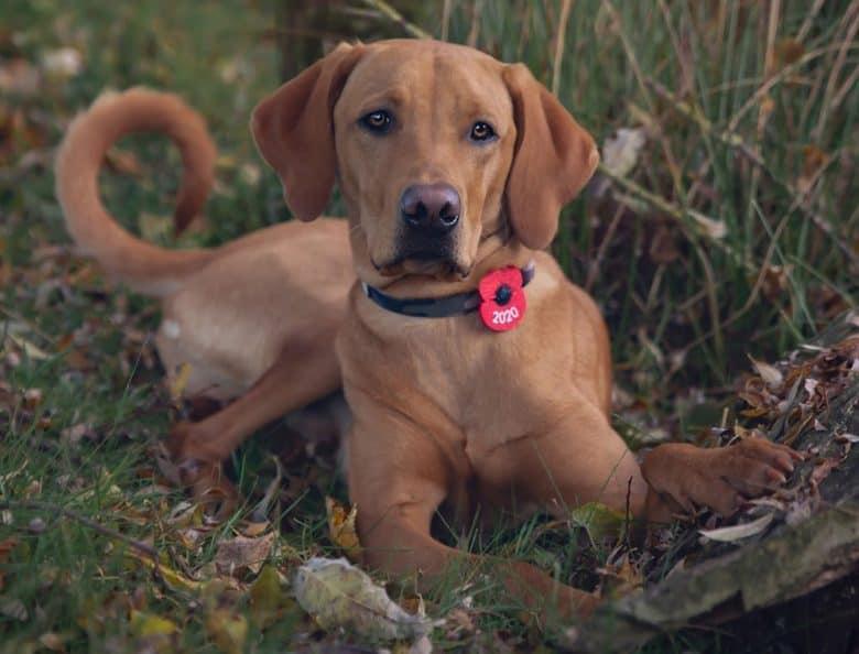 Labrador Retriever Vizsla mix dog lying outside