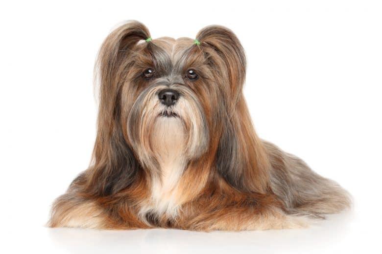 Adorable Lhasa Apso dog