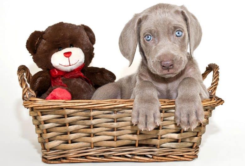 Little Weimaraner puppy insde the basket