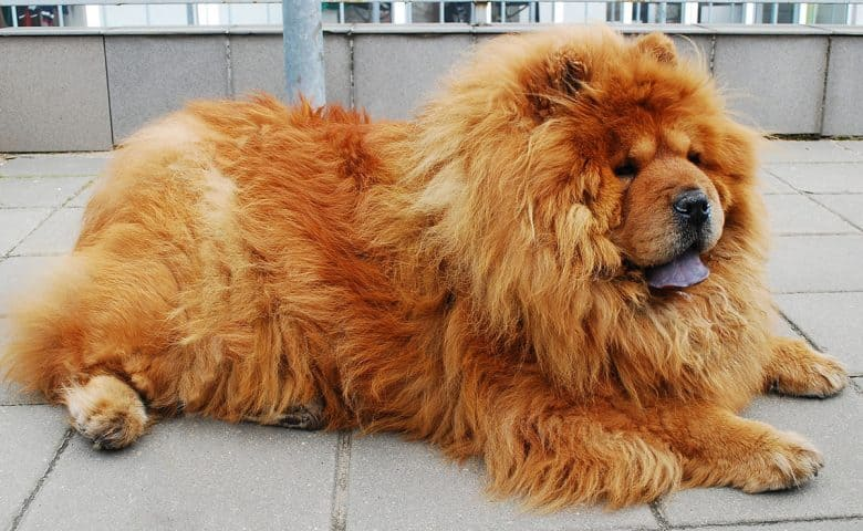Long-haired Chow Chow dog lying on the floor