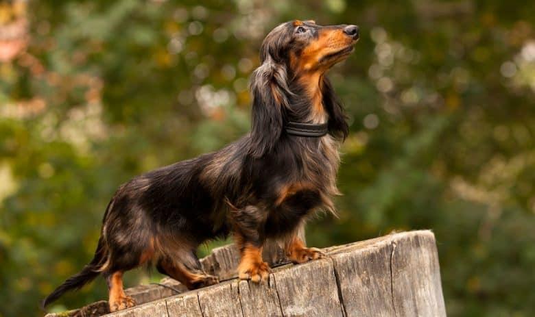 Long-haired Dachshund dog