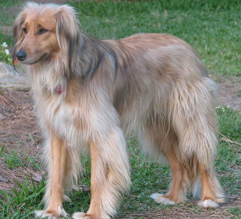 Long hairy Afghan Collie standing on the yard