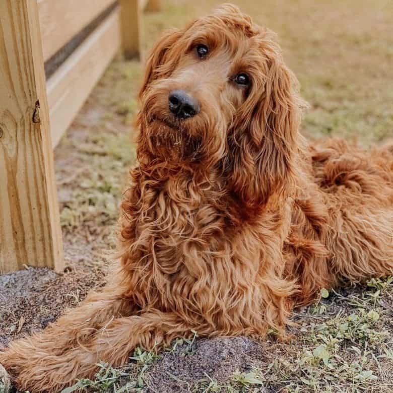 Lovely Poodle and Irish Setter mix dog portrait