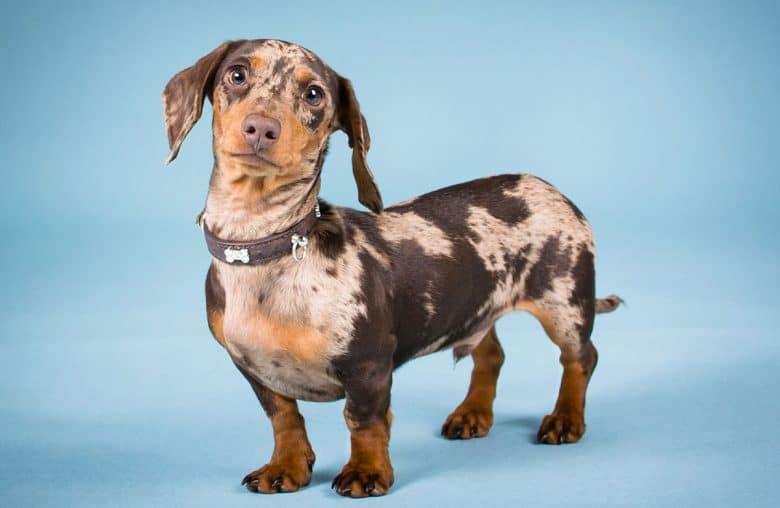 Male Dachshund dog portrait