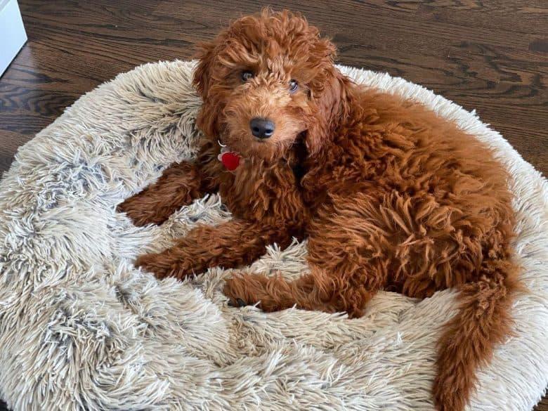 Miniature Irish Setter Doogle mix dog lying on his comfy bed