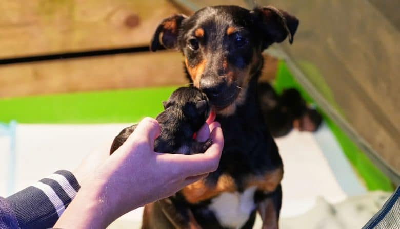 Mother Jack Russell Terrier dog with litter of newborn puppies