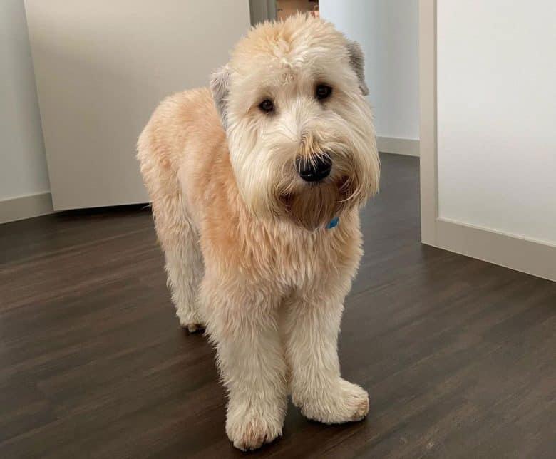 New trim Soft Coated Wheaten Terrier dog