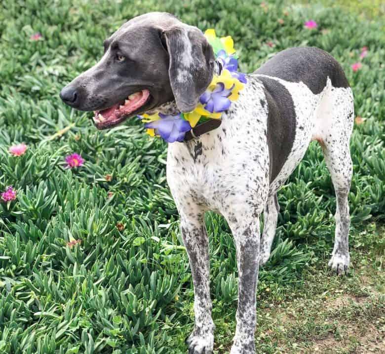 Pie-bald Weimaraner dog standing near the flower garden