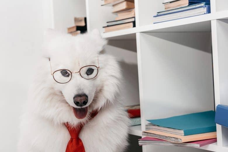 Playful Samoyed dog wearing necktie and eyeglass