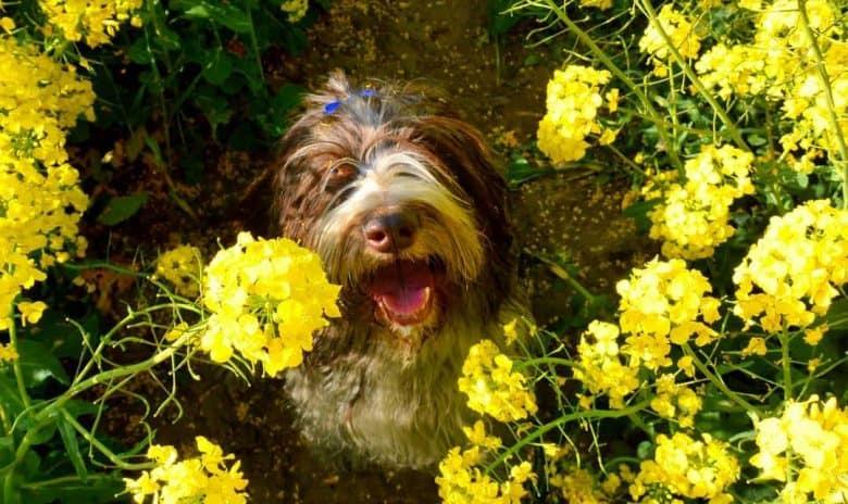 Polish Lowland Sheepdog in the beautiful yellow Colza flowers
