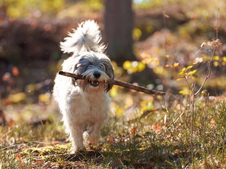 Polish Lowland Sheepdog walking while chewing stick