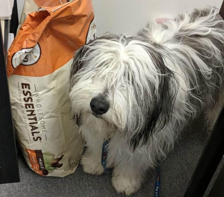 Polish Lowland Sheepdog with his sack of food