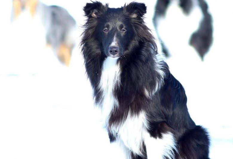 Portrait of a Bi Black Sheltie dog