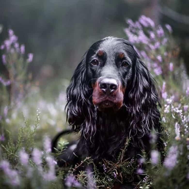 Portrait of a black Gordon Setter dog