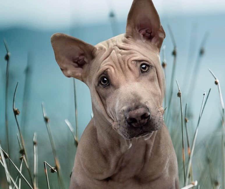 Portrait of curious Thai Ridgeback dog