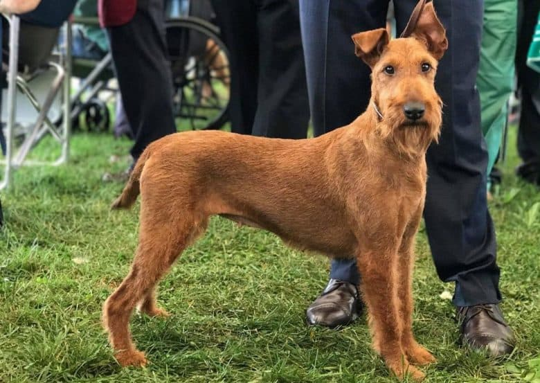 Portrait of Irish Terrier dog in a competition