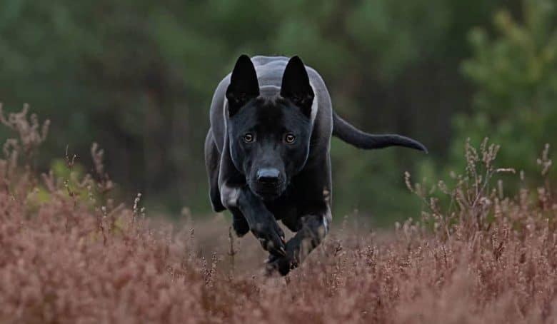 Portrait of running black Thai Ridgeback dog