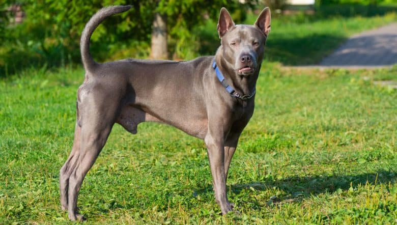 Portrait of Thai Ridgeback dog standing outside