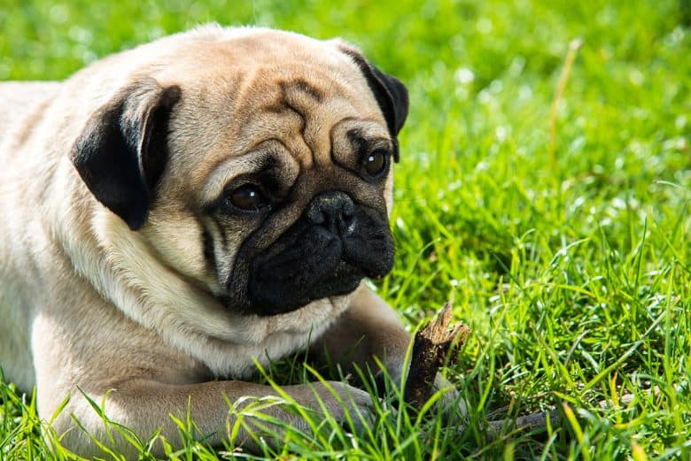 Pug dog chewing stick while lying on the grass