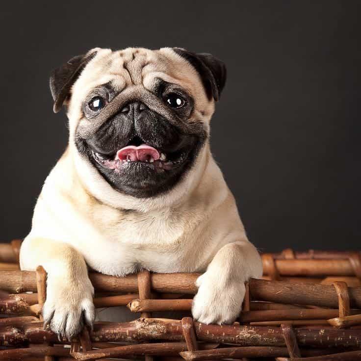 Pug dog on her bed basket