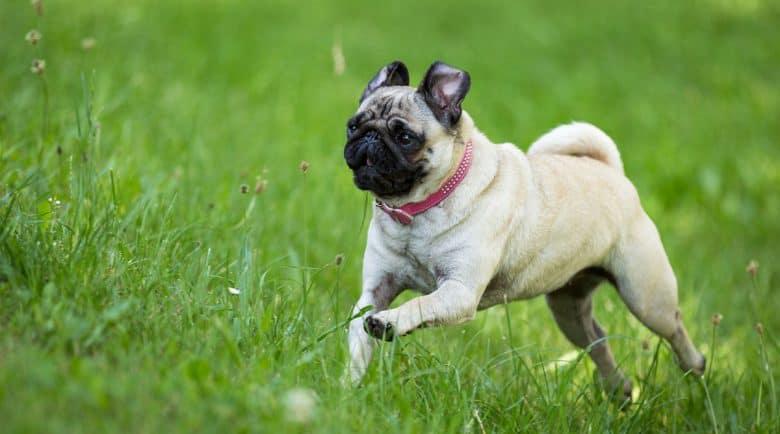 Pug dog running on the grass