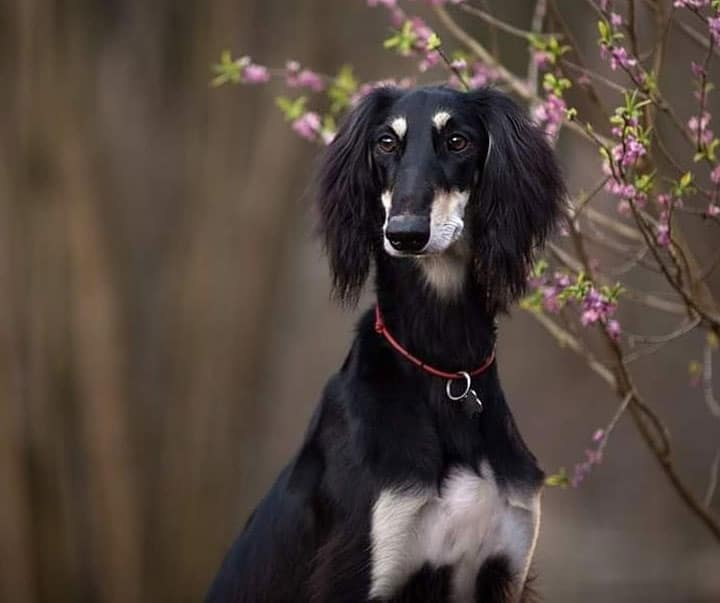 Purebred Saluki dog portrait