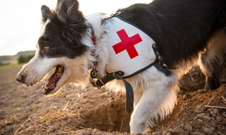 Rescue Border Collie dog digging a hole
