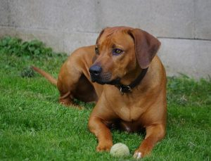 Ridgeback dog breed