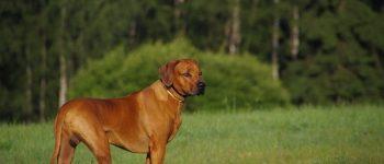 Ridgeback dog breed