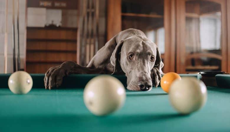 Sad Weimaraner dog in the pool table