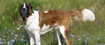 Saint Bernard dog breed