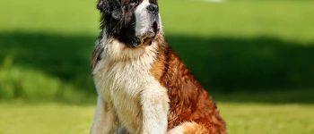 Saint Bernard dog sitting on the field