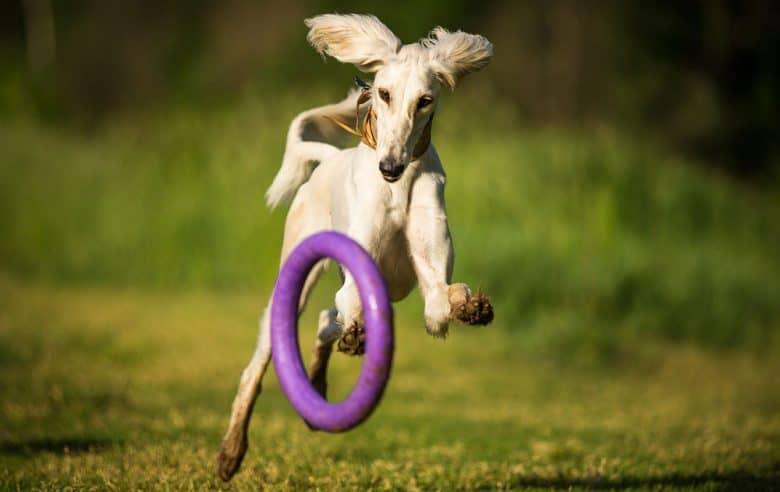 Saluki dog chasing the purple wheel toy