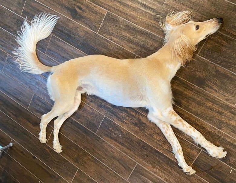 Saluki puppy dog lying on the floor