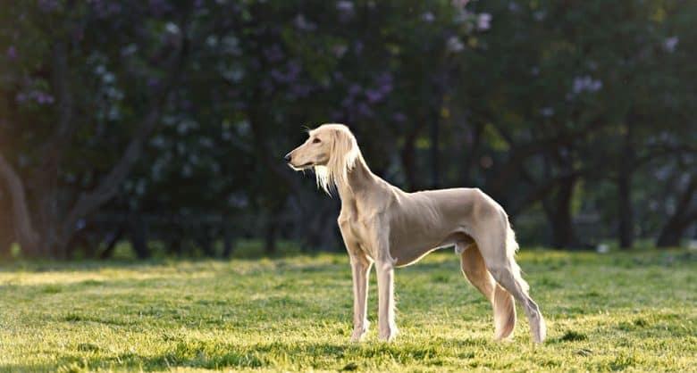 Charming Saluki dog posing on the field
