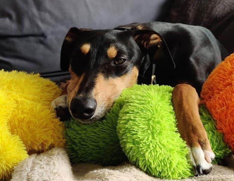 Saluki Greyhound mix dog lying with the toys